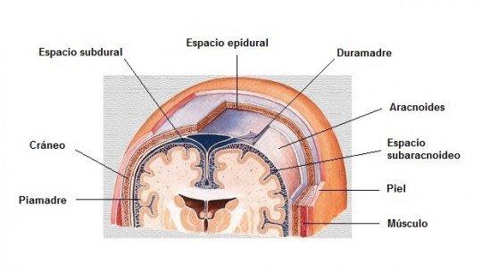 Arachnoids (brain)-anatomy