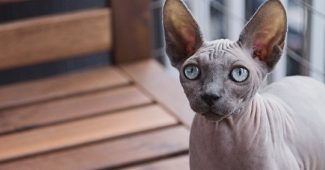 Why do cats' eyes shine? Science answers