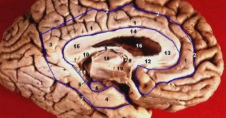 Papez Circuit: what it is and what brain structures it includes