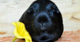 Guinea pigs have a positive effect on young people with autism