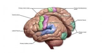 Motor cortex of the brain: parts, location, and function
