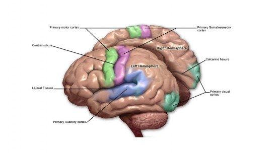 Motor cortex of the brain: parts
