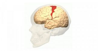 Primary motor cortex: characteristics and functions