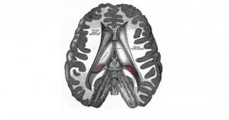 Diencephalon - structure and function of this brain region