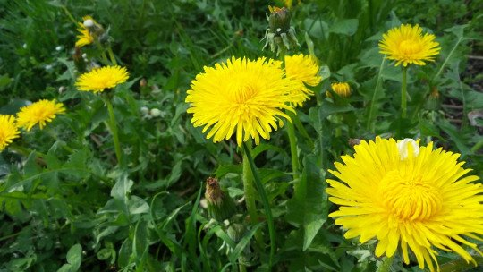 Dandelion: 9 uses and properties of this medicinal plant