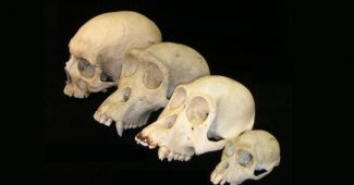 The evolution of the human brain: this is how it developed in our ancestors