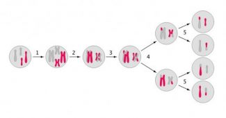 The 8 phases of meiosis and how the process develops