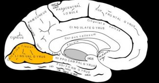 Tongue twisting: functions and characteristics of this part of the brain