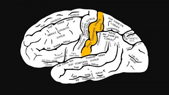 Postcentral gyration: characteristics and functions of this area of the brain