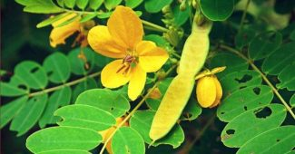 Senna leaf: what is this medicinal plant and how to take it?
