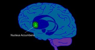 Nucleus accumbens: anatomy and function