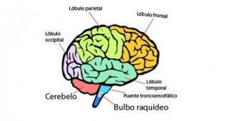 Parts of the human brain (and functions)