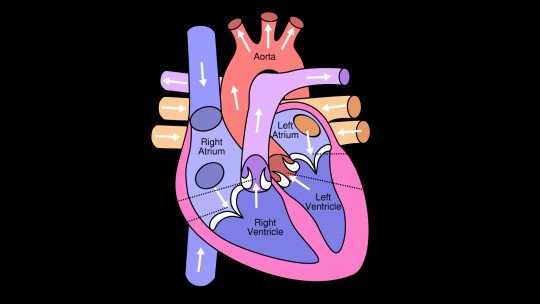 The 13 parts of the human heart (and their functions)