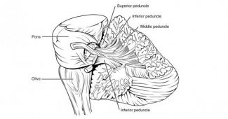 Brain peduncles: function, structure and anatomy