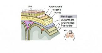 Piamadre (brain): structure and functions of this layer of the meninges
