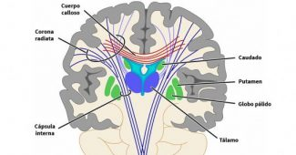 Putamen: structure, functions and related disorders