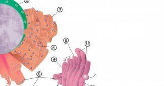 Roughened endoplasmic reticulum: definition, characteristics and functions