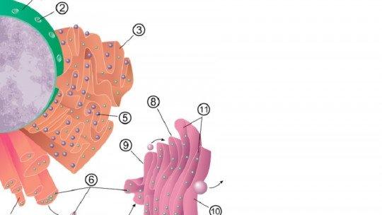 Roughened endoplasmic reticulum: definition