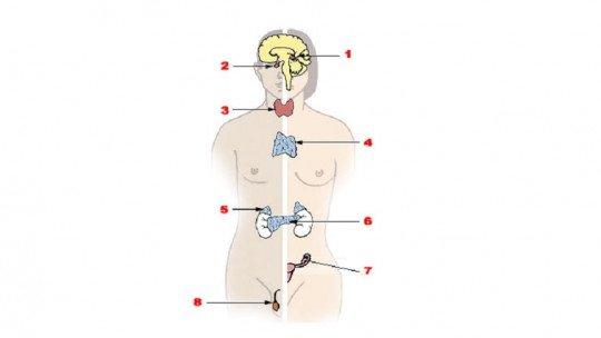Endocrine system: anatomy