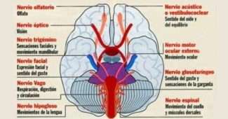 Autonomic nervous system: structures and functions