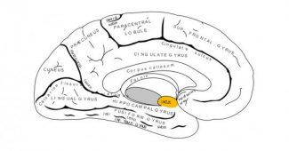 Uncus: structure and functions of this part of the brain