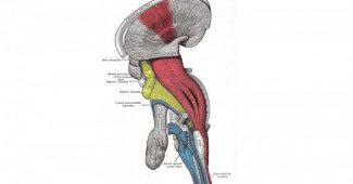 Corticospinal route: characteristics and functions