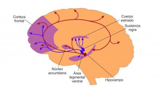Mesolimbic (brain) pathway: anatomy and functions